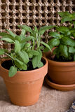 Gardening - Herbs in Pots Royalty Free Stock Photography