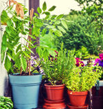 Gardening at home on the balcony, pots with herbs and wisteria Royalty Free Stock Photography