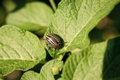 Gardening, horticulture, insect. Parasites in wildlife and agriculture, entomology. Pests destroy crop, insecticide, bug. Colorado potato beetle, harvest Stock Image