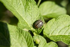 Gardening, horticulture, insect. Parasites in wildlife and agriculture, entomology. Pests destroy crop, insecticide, bug. Colorado potato beetle, harvest royalty free stock photos