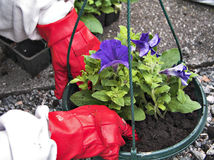 Gardening I. Persoon planting a flower in a flower pot royalty free stock photo