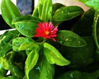 Gardening Ideas Red flower royalty free stock photography