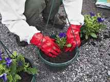Gardening II. Person planting a flower in a flower pot royalty free stock image