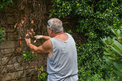 Gardening 1. Man busy and concentrated trimming plants in the garden Stock Images