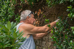Gardening 2. Man busy and concentrated trimming plants in the garden Royalty Free Stock Images