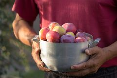 Gardening. man with organic plums garden. Harvest. Young farmer harvesting plum. plum in a vintage bowl Stock Image