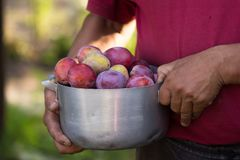 Gardening. man with organic plums garden. Harvest. Young farmer harvesting plum. plum in a vintage bowl Stock Images