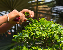 Gardening -Man's hand  trimming bonsai Royalty Free Stock Images