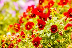 Closeup of beautiful red flowers, pansies royalty free stock image