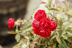 Closeup of red rose flowers on green leafs Royalty Free Stock Photography