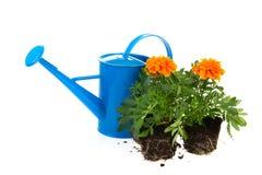 Gardening with orange Marigolds Stock Image