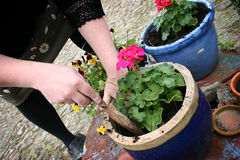 Gardening, planting flowers. Girl planting flowers plant in blue pot i urban garden. gardening, planting or past time hobby stock photo