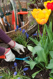 Gardening, planting flowers Stock Images