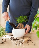 Gardening, planting at home. man relocating ficus houseplant royalty free stock image
