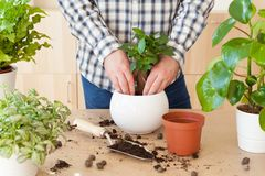 Gardening, planting at home. man relocating ficus houseplant royalty free stock photography