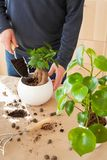 Gardening, planting at home. man relocating ficus houseplant royalty free stock images