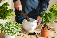 Gardening, planting at home. man relocating ficus houseplant stock image