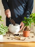 Gardening, planting at home. man relocating ficus houseplant royalty free stock photos