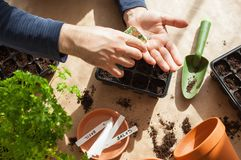 Gardening, planting at home. man sowing seeds in germination box Royalty Free Stock Image