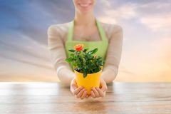 Gardener hands holding flower pot with rose. Gardening, planting and people concept - close up of female gardener hands holding flower pot with rose over sky Stock Image