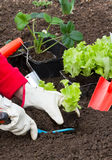 Gardening, Planting Salad Stock Images