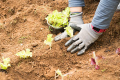Gardening and planting vegetables into the soil. Stock Image