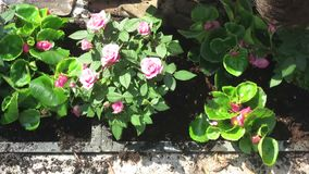 Gardening pose and arrangement of flowers.  stock video footage