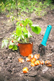 Gardening. The pot of strawberries and bulbs of flowers are on t Stock Photo