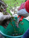Gardening, pruning. Cutting the trimmed rose wood in to small pieces to make compost Stock Photos