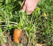 Gardening Pulling Carrots Royalty Free Stock Photography