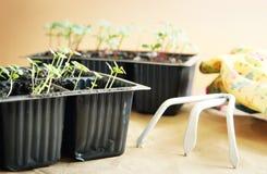 Gardening rake with green seedlings for transplantation Royalty Free Stock Photography