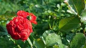 Gardening red rose Stock Photos