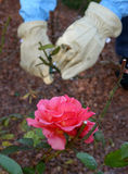 Gardening at a Rose Bush. A gardener is shown maintaining a pink rose bush. Hands are wearing gardening gloves Royalty Free Stock Images