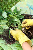 Gardening with rubber yellow gloves Stock Images