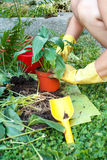 Gardening with rubber yellow gloves Stock Image