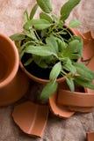 Gardening - Sage Herbs Stock Images