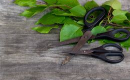 Gardening scissors and green branch on rustic background. Gardening time. Free copy space