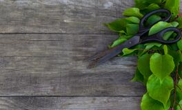 Gardening scissors and green branch on rustic background. Gardening time. Free copy space.