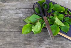 Gardening scissors, old book and green branch on rustic background. Gardening time. Free copy space.