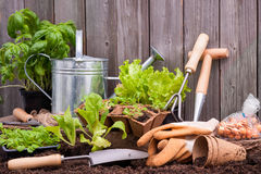 Gardening. Seedlings of lettuce with gardening tools outside the potting shed Stock Photography