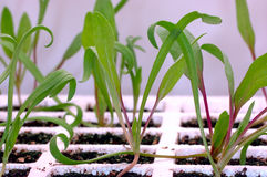 Gardening - Spinach Seedlings. Gardening indoors under fluorescent lights. Focus = the center spinach (Spinacea oleracea) seedling crown. Macro Stock Photography
