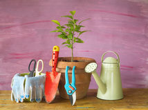 Gardening in the springtime. A young lemon tree and gardening utensils Stock Photography