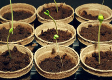 Gardening starts. Garden sprouts started indoors early Stock Photo