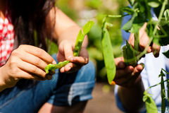 Gardening in summer - couple harvesting beans Royalty Free Stock Photo