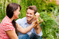 Gardening in summer - couple harvesting carrots. Gardening in summer - happy couple harvesting carrots and having lots of fun Royalty Free Stock Photo