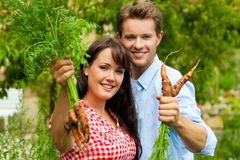Gardening in summer - couple harvesting carrots Royalty Free Stock Images