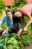 Gardening in summer - couple harvesting carrots. Gardening in summer - happy couple harvesting carrots and having lots of fun Stock Photos