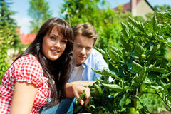 Gardening in summer - couple harvesting tomatoes Royalty Free Stock Photos