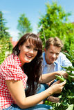 Gardening in summer - couple harvesting tomatoes Royalty Free Stock Image