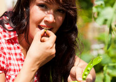 Gardening in summer - woman harvesting peas. And nibbles from the bush Stock Images